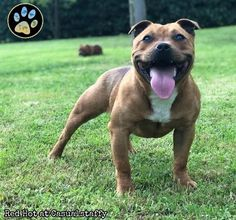Red Hot at Casualstaffy FROM ITALY [STAFFORD SHIRE BULL TERRIER]