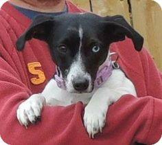 Joplin, MO - Dachshund Mix. Meet NALA a Dog for Adoption.