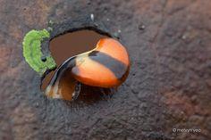 Bipalium by melvynyeo   A hammerhead worm peeking thru a hole on a dead leaf