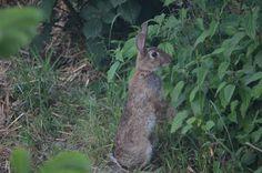 Konijntje, Rabbit, Lapin