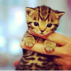 please follow us, like and write feedback if you think this feline is lovable:) #cute #kitten #cat #kittenspuppiesdaily #kitty #adorable
