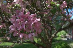 Purppuraomenapuu  'Makamik' – Malus Purpurea-ryhmä