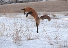 Amazing Photos of Foxes by Mary Lee Agnew - The Photo Argus Reptiles And Amphibians, Mammals, Fox Species, Hunting Photography, Mary Lee, Cool Photos, Amazing Photos, African Wild Dog, Fox Dog