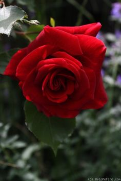Climbing Hybrid Tea Rose: Rosa 'Don Juan' (Italy)