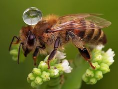 Bee with a water droplet by Agus Sudarmanto. Amazing!  #bees #honey #pollinators #savethebees #life #food