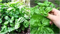 As a Food Basil has been used around the world for centuries with good reason – it adds a delicious depth of flavor that cannot be matched by other herbs. Some of the more popular culinary uses of basil include: 1. Classic Pesto One of the best known sweet basil based recipes, pesto alla Genovese is fantastic on pasta, pizza and salads, or served with… [read more]