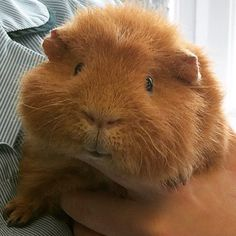 Buy The Right Size Guinea Pig Cage. Photo by maskarade Purchasing a guinea pig cage in a pet shop is unfortunately a good way to ensure that it is in fact too small for your pet's needs. Hamsters, Chinchillas, Rodents, Baby Guinea Pigs, Guinea Pig Care, Pet Pigs, Happy Animals, Cute Baby Animals, Animals And Pets