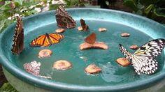 Butterfly feeder.