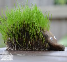 Hedgehog grass head - soil, stockings, googley eyes, seeds.