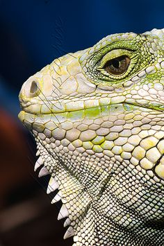 iguana I used to have an an iguana called Sally i was heartbroken when she went they are such beautiful and intelligent lizards xx