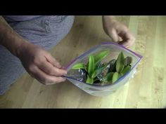 It all starts with the roots! Here's how I start off my bare-root orchids and get them growing nice roots. It all starts with the roots! Here's how I start off my bare-root orchids and get them growing nice roots. Orchid Plant Care, Orchid Plants, Air Plants, Indoor Plants, Indoor Orchids, Potted Plants, Orchid Cactus, Orchids In Water, Orchids Garden
