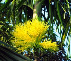 areca nut flower