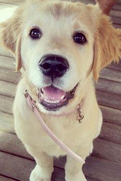 """livingpursuit:  """"Golden Puppy  """""""