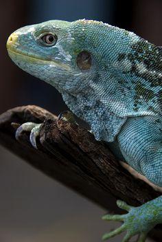 Fijian Crested Iguana | by urbanmenagerie