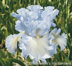 Absolute Treasure   Fragrant Iris