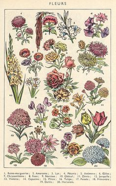 sc app 1957 021 - Science and Nature Illustration Botanique, Art Et Illustration, Botanical Illustration, Illustrations, Botanical Drawings, Botanical Prints, Wall Prints, Poster Prints, Impressions Botaniques