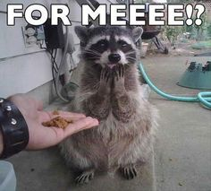 I love, love loooove racoons! They are so cute <3