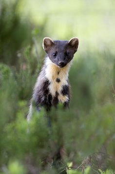 The Martens constitute the genus Martes, are slender, agile animals, adapted to living in taigas, and are found in coniferous and northern deciduous forests across the northern hemisphere. They have bushy tails, and large paws with partially retractible claws. The fur varies from yellowish to dark brown, depending on the species, and, in many cases, is valued by fur trappers. Pine Marten