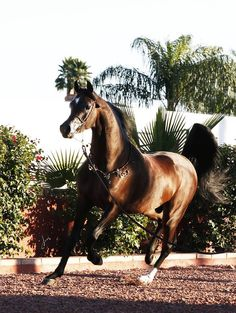 286 best Arabian horses, Drinkers of the wind images on Pinterest ...