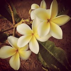 you can never have too many pictures of plumerias!