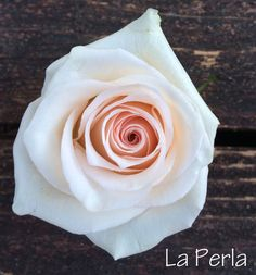 La Perla Rose - Easy rose to clean as there are practically no thorns! The bloom itself doesn't open wide, it stays in a tighter rose bud shape. Perfect for boutonnieres and when a smaller bud is needed in a design. Very similar in size and shape to Bridal Akito, the main difference is that La Perla has a more cream coloring in the petals with hints of pink in the center. (Bridal Akito has the brighter white outer petals.) By far the longest living rose in this study, still going strong at…