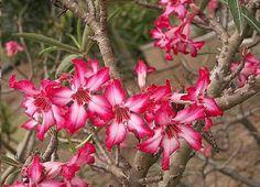 Graines Adenium Somalense (Graines Rose du Désert) - See more at: http://www.rarexoticseeds.com/fr/graines-adenium/graines-adenium-somalense-graines-rose-desert.html