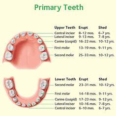 Permanent Teeth Arrival Chart