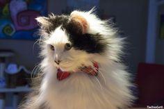 Caturday fluff - The Oreo Cat - @yummypets