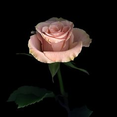 MONOLOGUE... A ROSE for PEACE. by Magda Indigo on 500px