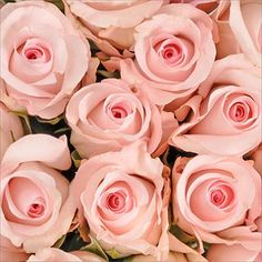 Roses - Light Pink - 125 Stems