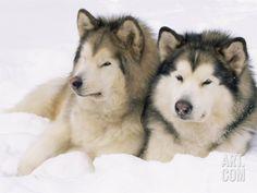 Alaskan Husky Dogs Two Alaskan Malamute Dogs, USA Photographic Print - Alaskan Husky, Siberian Husky Puppies, Alaskan Malamute, Husky Puppy, Husky Mix, Siberian Huskies, Akita, I Love Dogs, Dog Cat