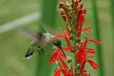 Ruby-throated Hummingbird at Cardinal flower. Learn what the unique relationship between this bird and flower at www.wildbirdscoop.com/hummingbirdplants.html #WildBirdScoop #hummingbirdidentification #howtoattracthummingbirds #hummingbirdfacts