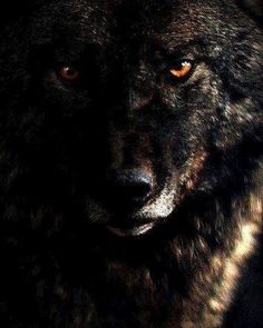 🐺If you Love Wolves, You Must Check The Link In Our Bio 🔥 Exclusive Wolf Related Products on Sale for a Limited Time Only! Tag a Wolf Lover! 📷: Please DM . No copyright infringement intended. All credit to the creators. Wolf Photos, Wolf Pictures, Beautiful Creatures, Animals Beautiful, Cute Animals, Angry Wolf, Alpha Wolf, Wolf Artwork, Wolf Spirit Animal