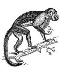 black monkey drawing