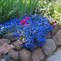 Lithodora diffusa (heavenly blue).  Ground cover.  Spring bloom