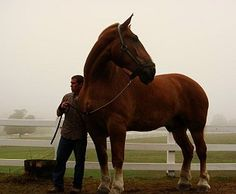 Zeus is the largest horse in the world!   9 Years Old  21 Hands Tall (7 feet) at the shoulder  Approximately 3000 lbs  Breed - Belgian Draft Horse