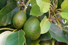 Gardening Indoor How to Grow Avocados at Home — and 15 Other Plants to Grow Indoors! - Starting a garden can be intimidating (or downright impossible if you don't have a yard), but that doesn't mean homegrown produce is out of the question. Edible Plants, Edible Garden, Vegetable Garden, Garden Plants, Indoor Plants, Potted Garden, Organic Gardening, Gardening Tips, Avocado