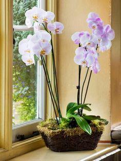 Phalaenopsis ? Die Richtige Pflege Von Orchideen   Indoor Orchideen Pflege Tipps Fur Die Wunderschonen Zimmerpflanzen
