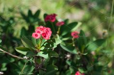 Gorgeous Euphorbia Milii flower. Legend associates it with the crown of thorns worn by Christ. by IIrinaSS on @creativemarket