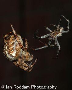 Male backs off Garden Spider