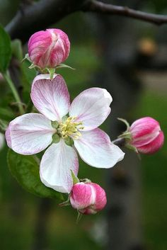 Apples actually come from the rose family so do strawberries blackberries and blueberries Roses have petals in groups of 4 or 5 Spring Blossom, Blossom Flower, Flower Art, Flowers Nature, Spring Flowers, Beautiful Flowers, Rose Family, No Rain, Flower Pictures