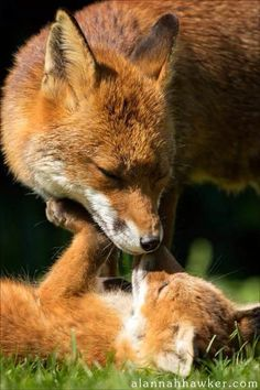 Red Foxes by Alannah Hawker