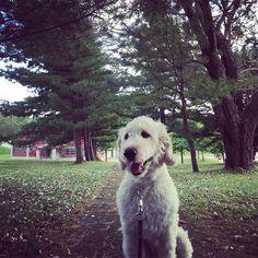 今日は午前中アラレが降って寒い寒い 寒かったけど散歩行ってきましたよ  大きな唐松の前で🌲 #寒くても#散歩#待ってる#日課だもね#ゴールデンドゥードル #ポチ#愛犬#癒し#可愛い#フワモコ部 #北海道#犬のいる暮らし #生活#自然 #ilovemydog #goldendoodle #doodle #dog#doodlelove #instadog #doglife #neture #hokkaido