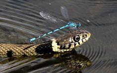 Una perezosa libélula usa la cabeza de una serpiente acuática como transporte en un lago de Bury St.Edmunds, Suffolk, Inglaterra (David Offord, 2015)