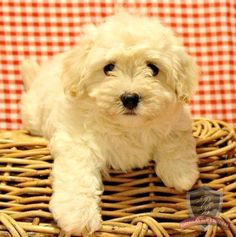 Havanese puppy - Coushatta