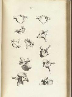 William Cheselden (1688-1752 https://pinterest.com/pin/287386019946927444/). Osteographia, or The anatomy of the bones, 1733 (https://pinterest.com/pin/287386019948842624/).