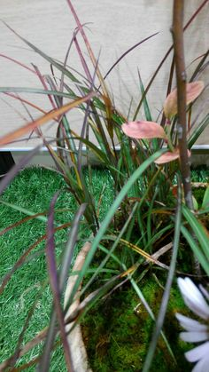 11/8○キンカザンススキ(金華山薄)イネ科ススキ属 多年草 小型でやや葉が細いススキ。 牡鹿半島の金華山産と言われている。
