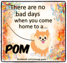 #pomeranian #facebook.com/snoop.pomeranian