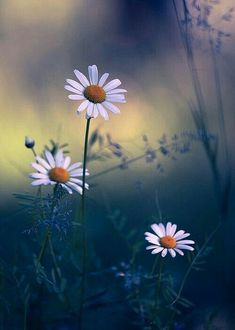 i love daisy actually. Flower Pictures, Nature Pictures, Beautiful Pictures, Some Pictures, Flowers Nature, Wild Flowers, Beautiful Flowers, Floral Photography, Nature Photography