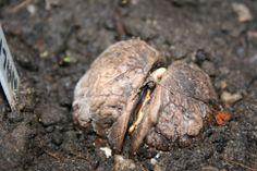 English Walnut the start of a fine tree, parent tree Swinderby, Lincolnshire, England UK.